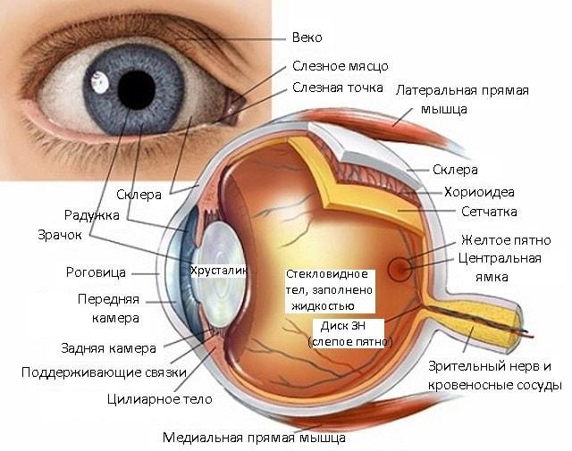 Строение зрительного анализатора человека