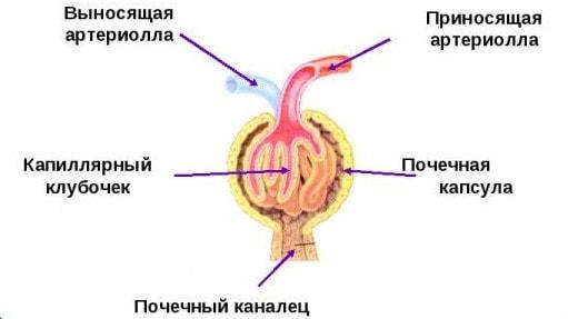 Строение нефронов