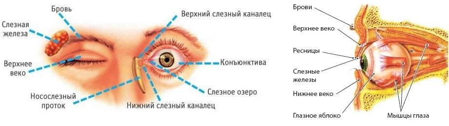 Строение вспомогательного аппарата зрения