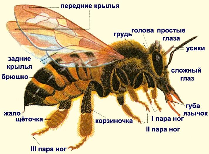 Строение тела медоносной пчелы