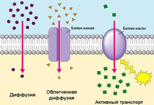 Транспорт через клеточную мембрану