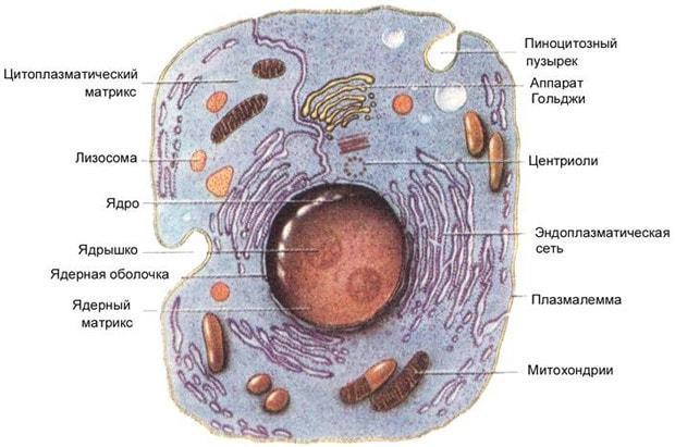 Органеллы животной клетки