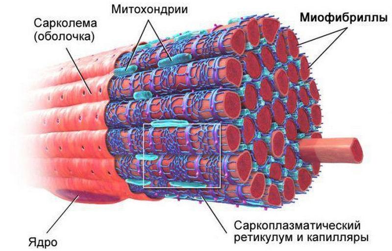 Скелетная мышечная ткань