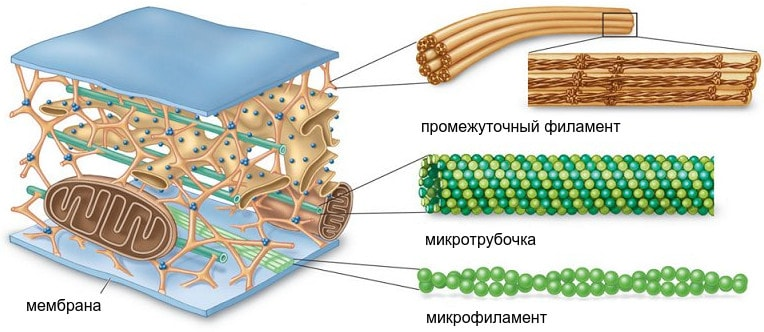 Микротрубочки и микрофиламенты