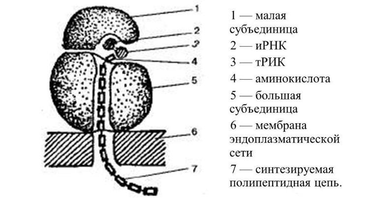 Схема строения рибосом