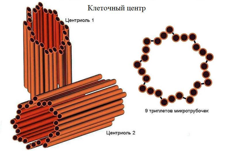 Строение клеточного центра