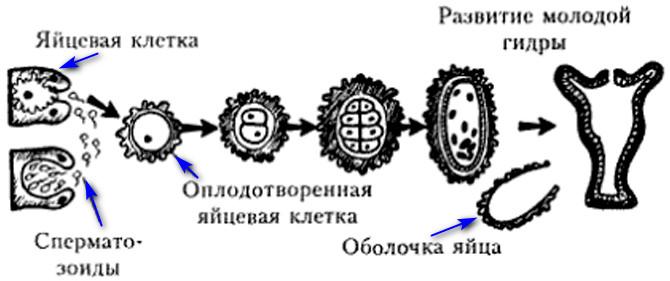 Половое размножение на примере гидры