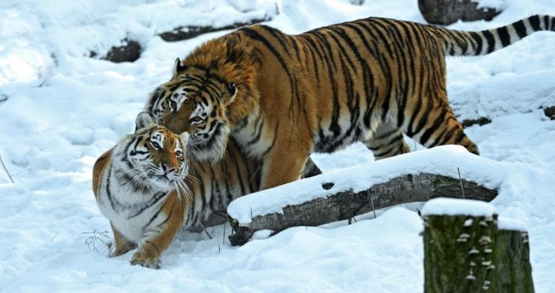 Летний окрас уссурийского тигра делает его более заметным зимой