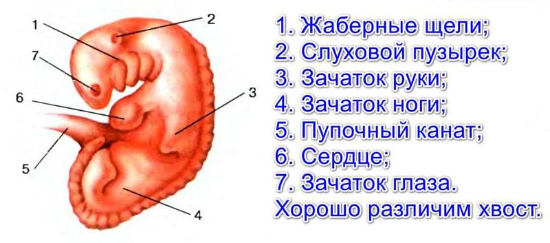 Эмбрион человека