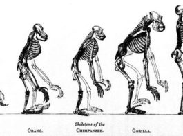Сходство скелета человека и человекоподобных обезьян