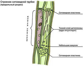 Покровная ткань растений