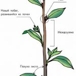 Стебель — вегетативный орган