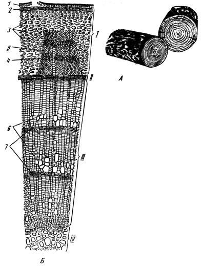Внутреннее строение стебля древесного растения