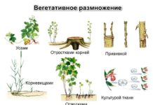 Способы вегетативного размножения