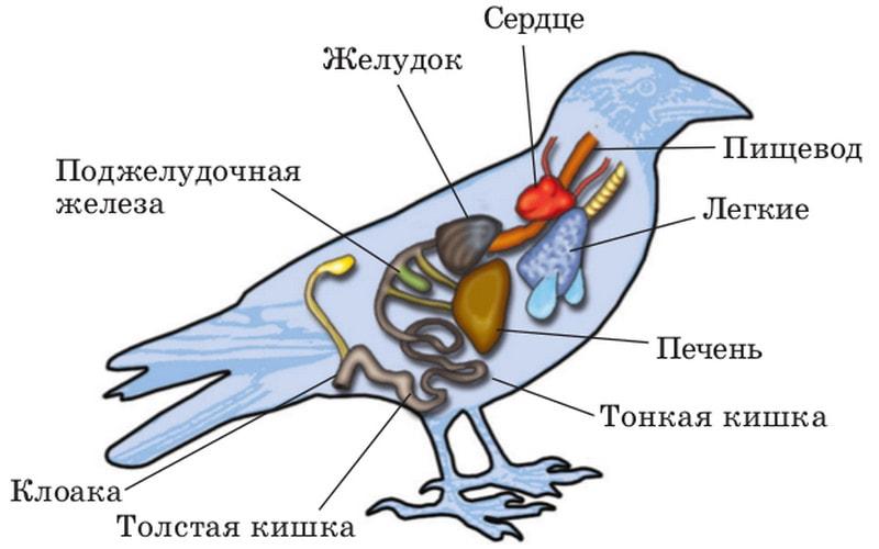 Внутренее строение птиц