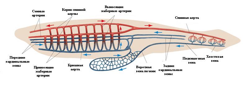 Кровеносная система ланцентников