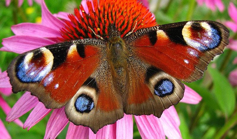Бабочки - представители насекомых с полным развитием