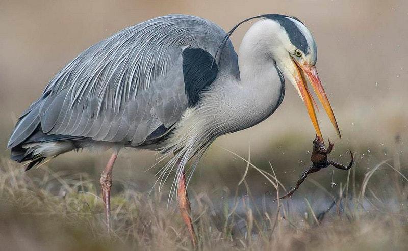 Цапля - представитель болотных птиц