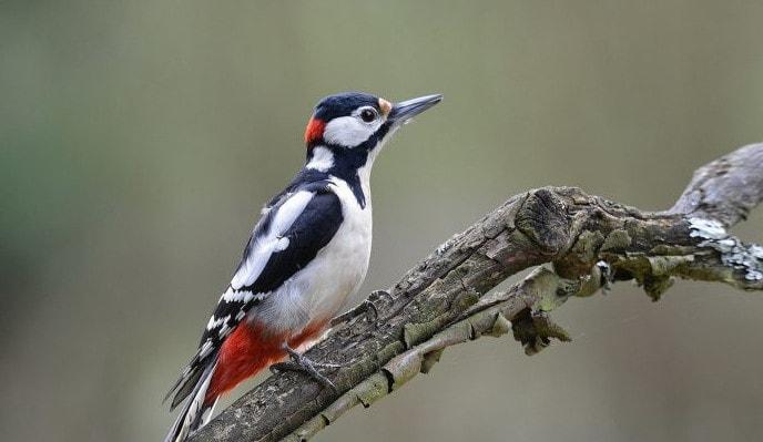 Дятел - представитель лесных птиц