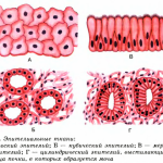 Эпителиальная ткань или эпителий