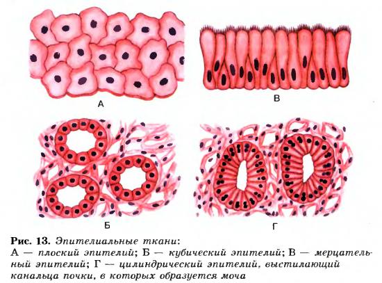 Эпителиальная ткань или