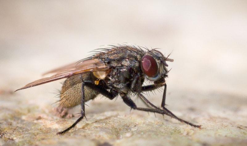 Комнатная муха - представитель отряда двукрылых