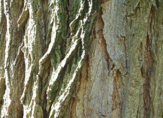 Корка дерева - третичная покровная ткань