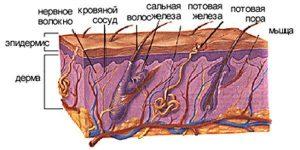 Кожа - наружный покров тела