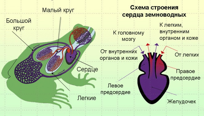Кровеносная система амфибий