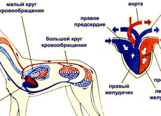 Органы кровеносной системы млекопитающих