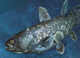 Латиметрия - представитель кистеперых рыб