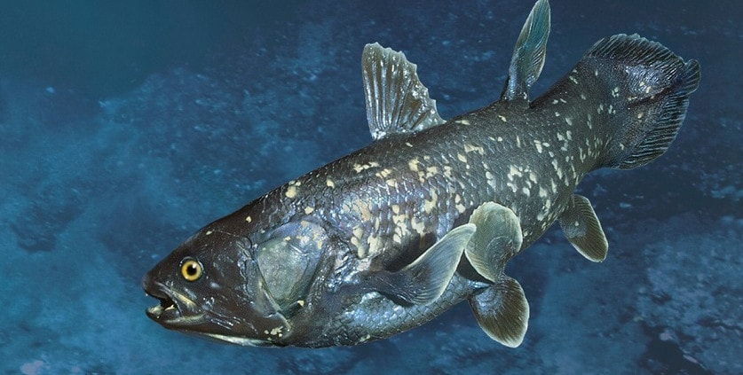 Латимерия - представитель кистеперых рыб