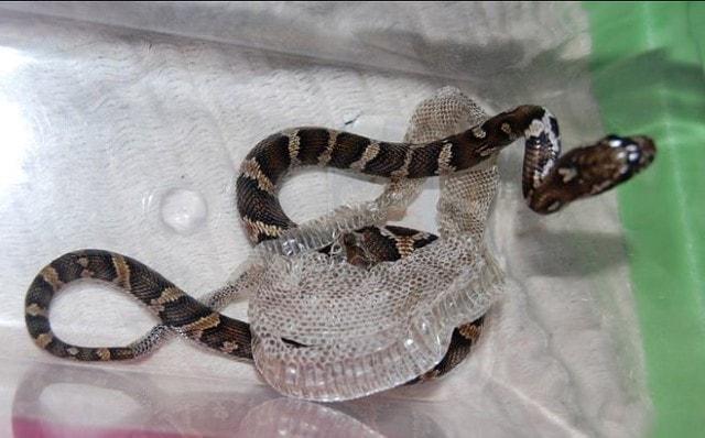 Как змеи сбрасывают кожу