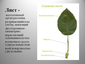 Органы растения - лист