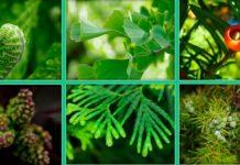 Листья голосеменных растений