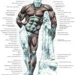 Обзор мышц человека