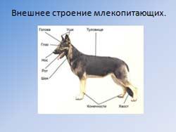 Класс Млекопитающие общая характеристика.