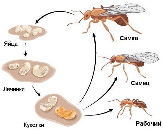 Муравьи: самка, самец и рабочий