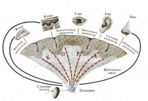 Образование и биологическое значение условных рефлексов