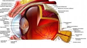 Строение и функции органа зрения человека