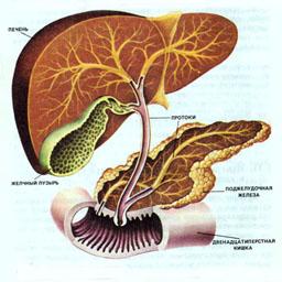 Печень, поджелудочная железа и их роль в пищеварении.