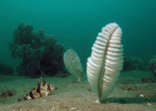 Морские перья
