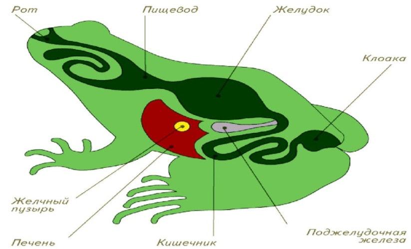 Пищеварительная система амфибий