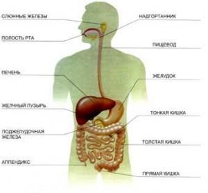 Пищеварения человека