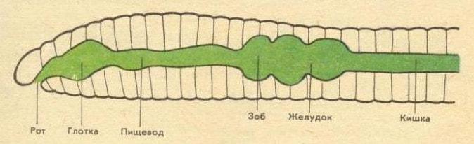 Пищеварительная система круглых червей