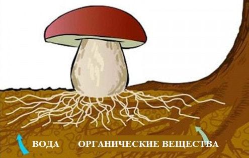 Питание шляпочных грибов