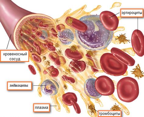 Плазма и форменные элементы крови