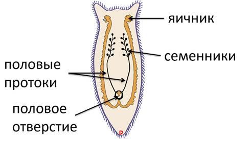 Половая система плоских червей