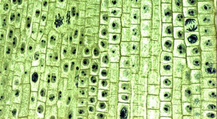 Проводящая ткань растений