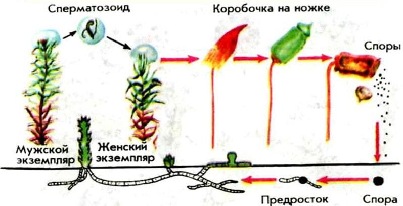 Процесс размножения мхов